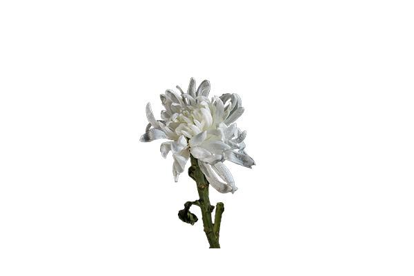 白菊花的功效与作用